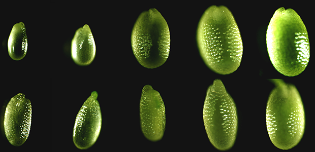 Small RNA regulation of seed development